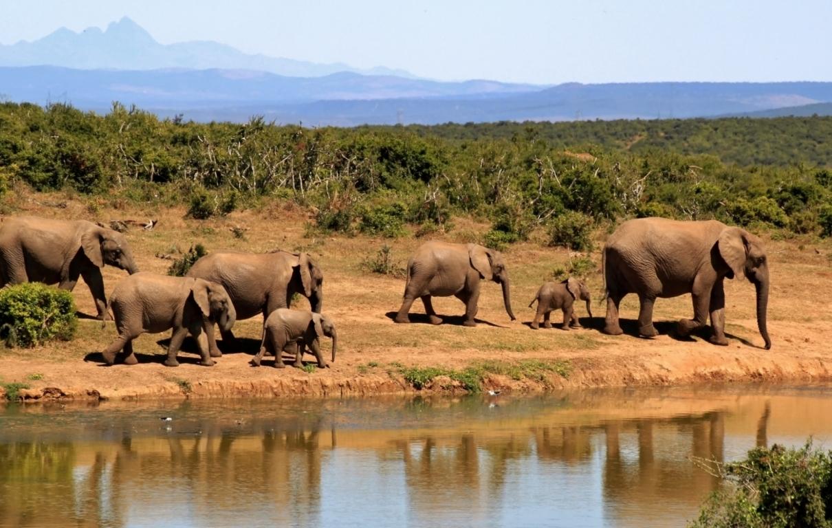Elephant herd of elephants african bush elephant africa 59989